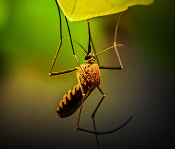 Os mosquitos estéreis vêm aí...